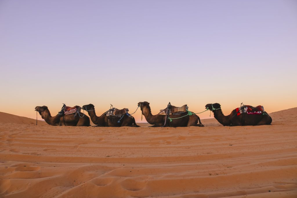 Camel Squad in the Sahara